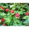 西安霖草供应蛇莓提取物